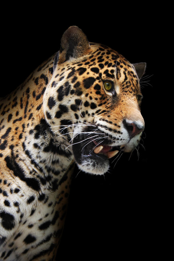 Jaguar Head In Darkness, Isolated Stock Image