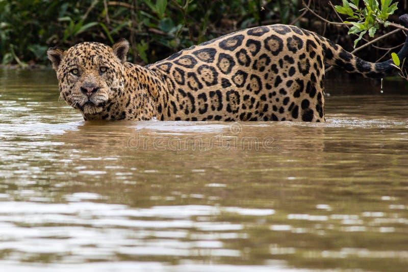 Jaguar-het zwemmen stock afbeeldingen