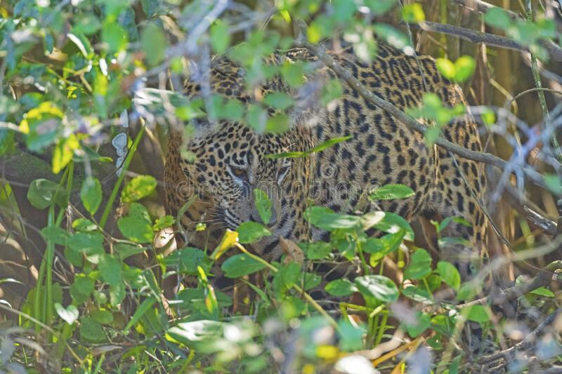 Jaguar Hiding in de Bushes royalty-vrije stock afbeelding