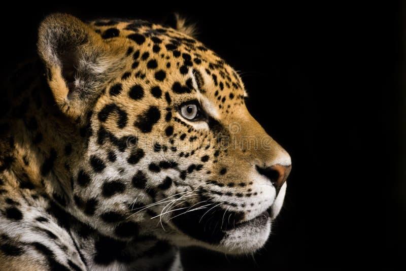 Jaguar III obraz royalty free