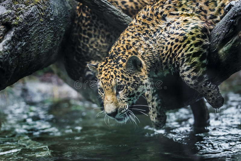 Jaguar In The Jungle Stock Photo Image Of Looking