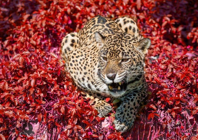 Jaguar kucał w dzikiej naturze obraz stock