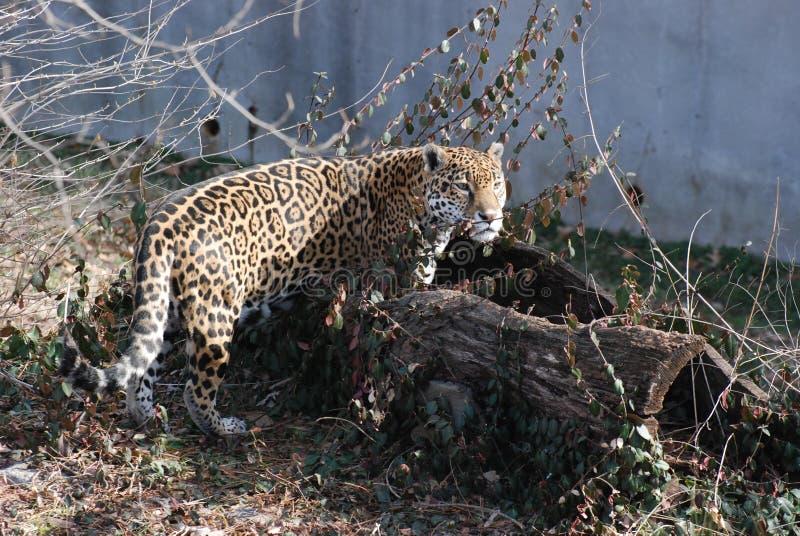 Download Jaguar in log stock photo. Image of gaze, spot, meateater - 19250036