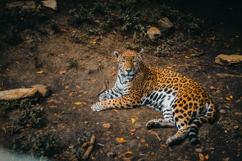Jaguar lying down looking at you royalty free stock image