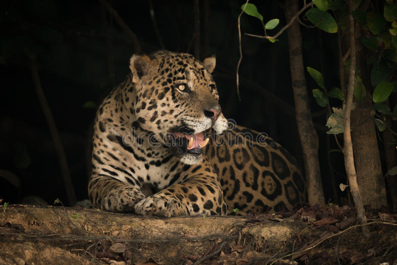 Jaguar lying on earth bank under trees stock photography