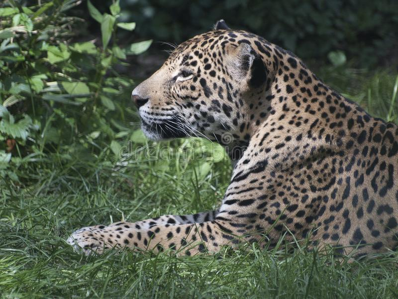 Jaguar Lying In Grass Looking To Side stock photo