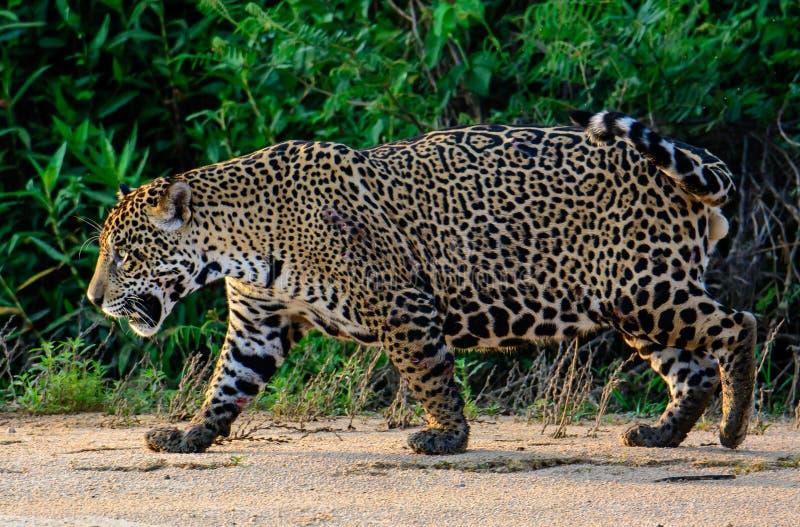 Jaguar masculin marchant le long de la plage image stock