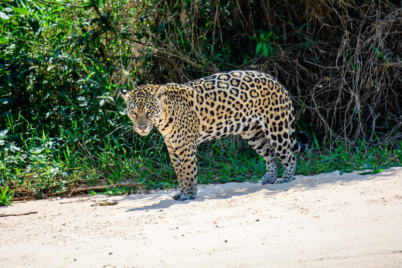 Jaguar masculino na praia imagem de stock royalty free