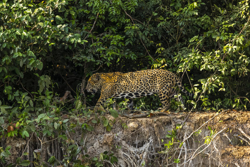 Jaguar masculino selvagem que anda ao longo da borda do Riverbank da selva imagens de stock royalty free