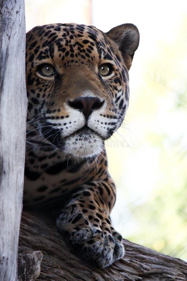 Jaguar mim fotografia de stock royalty free