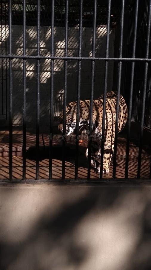 Jaguar mis en cage images libres de droits