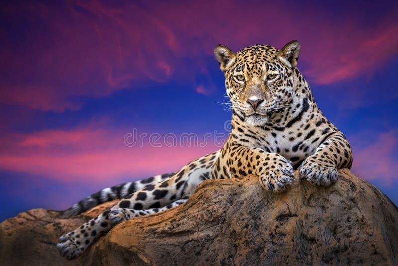 Jaguar na skałach w evening naturalnie zdjęcie royalty free