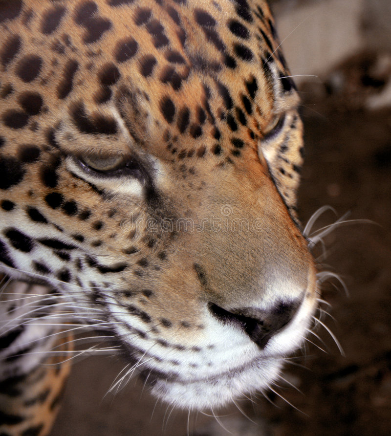 Jaguar-Nahaufnahme-Portrait stockfotos