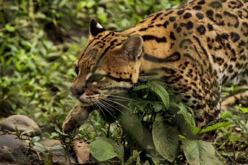 Jaguar-Nahaufnahmeansicht lizenzfreie stockfotos