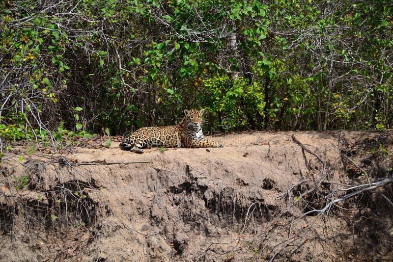 Jaguar in nature stock photography