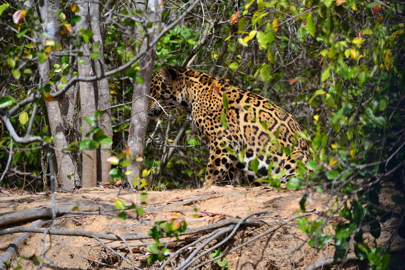 Jaguar in nature royalty free stock photos
