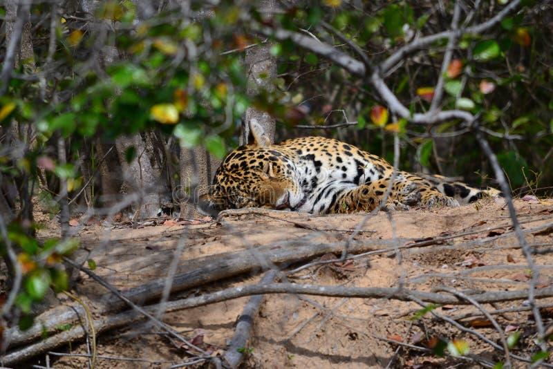 Jaguar in nature stock image