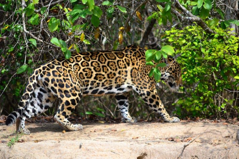 Jaguar in nature royalty free stock image