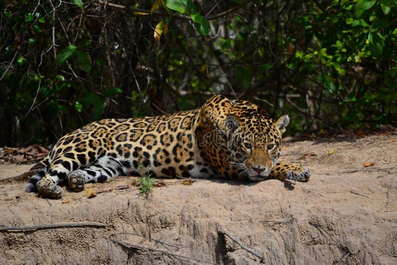 Jaguar in nature stock images