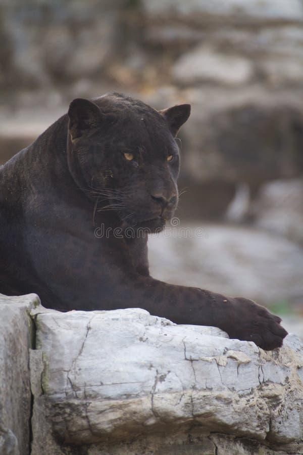 Jaguar negro fotografía de archivo