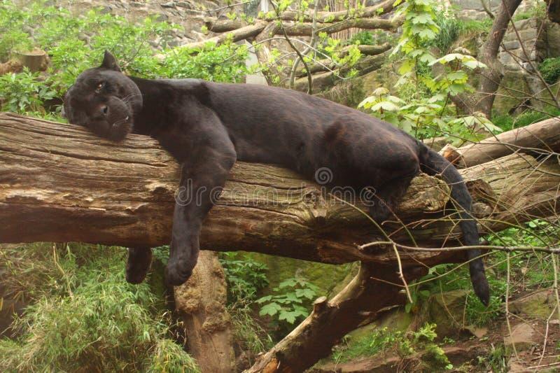 Jaguar negro imágenes de archivo libres de regalías
