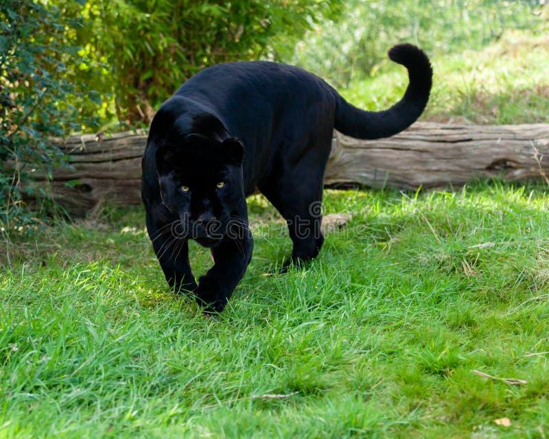 Jaguar negro enojado que acecha adelante foto de archivo