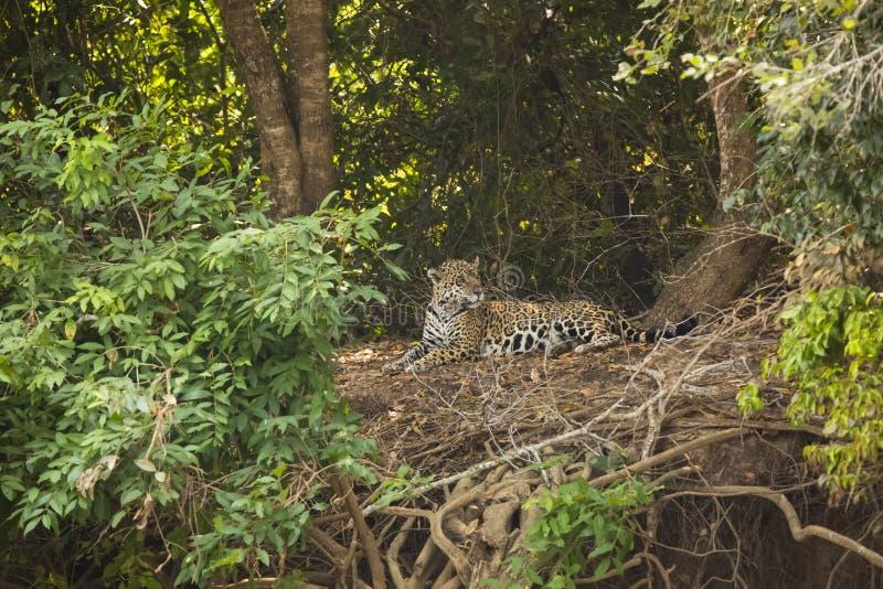 Jaguar no esclarecimento da selva que encontra-se para baixo foto de stock