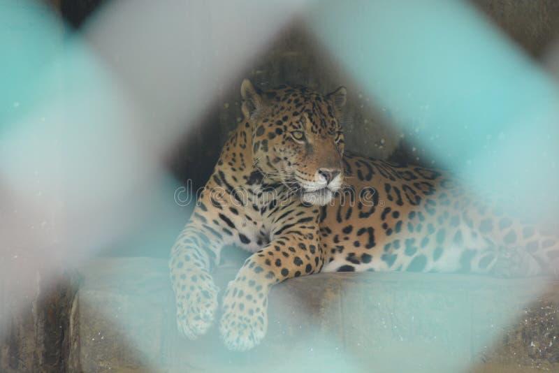 Jaguar obsiadanie za klatką obrazy stock