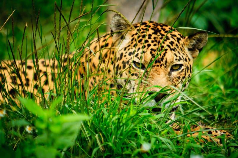 Jaguar - onca de Panthera image stock