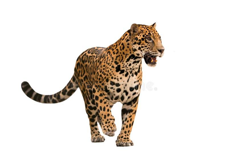 Jaguar (onca de Panthera) d'isolement photo libre de droits