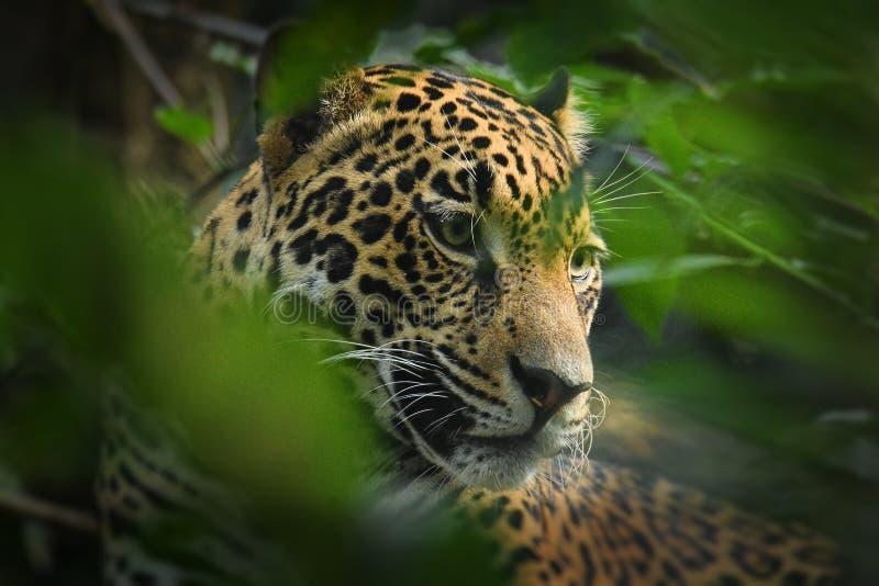 Jaguar - onca de Panthera espèces sauvages d'un chat, le seul membre extant de l'indigène de Panthera vers les Amériques photos libres de droits