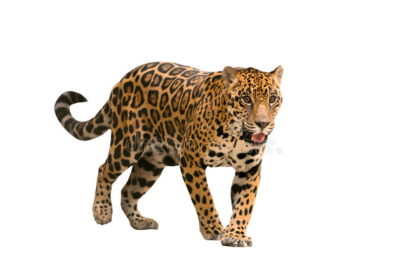 Jaguar (onca do Panthera) isolado imagem de stock royalty free