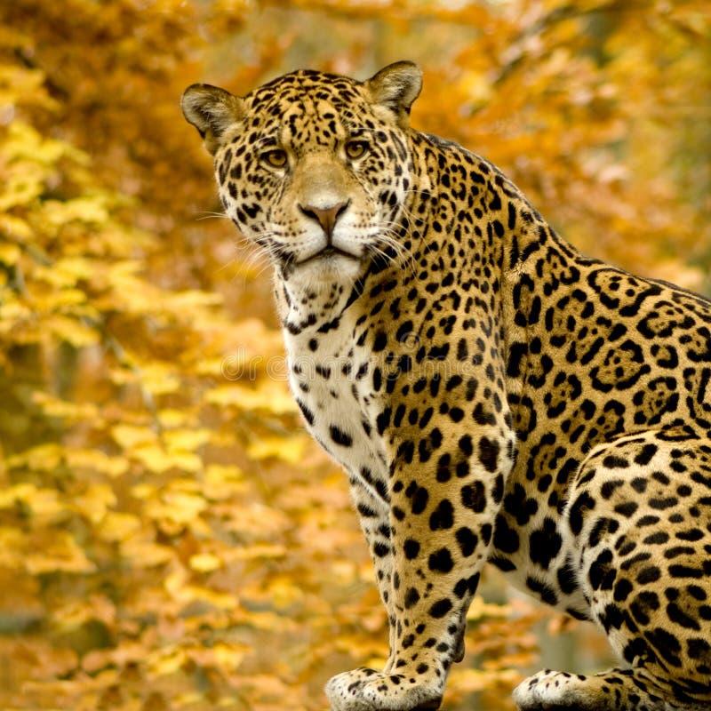 Jaguar - onca Panthera royalty-vrije stock foto's