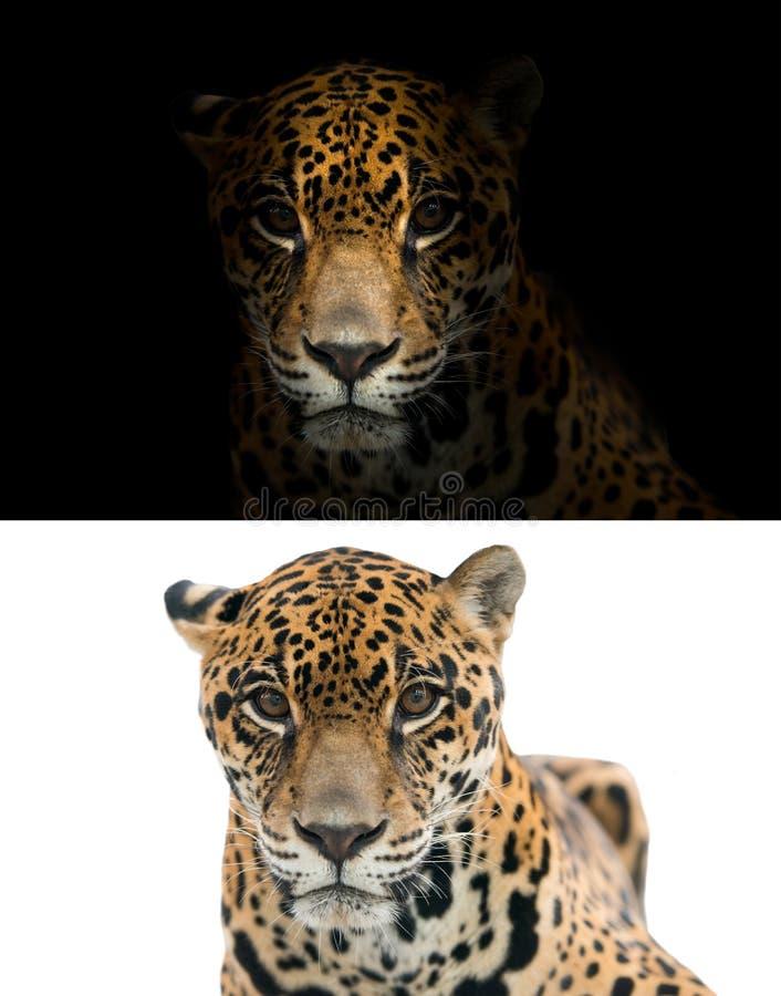 Jaguar op zwart-witte achtergrond stock foto
