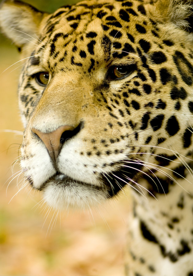 Free Jaguar - Panthera Onca Royalty Free Stock Photography - 3687917