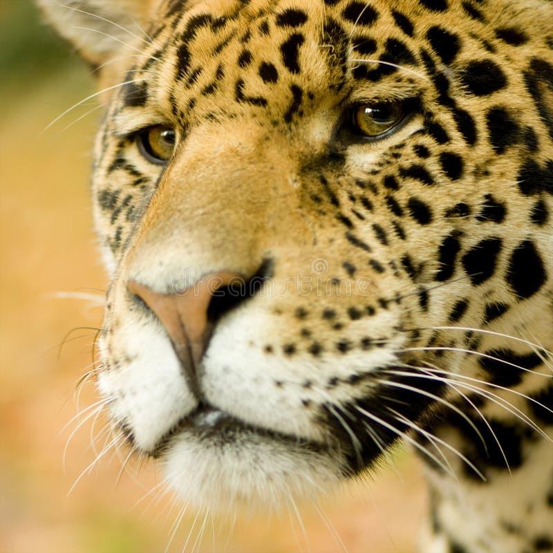 Free Jaguar - Panthera Onca Stock Image - 3687941