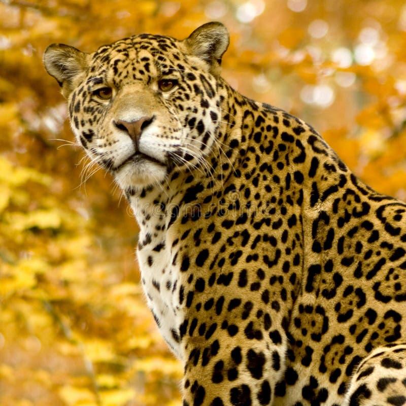 White Jaguar Cat: Panthera Onca Stock Photo. Image Of Wildlife