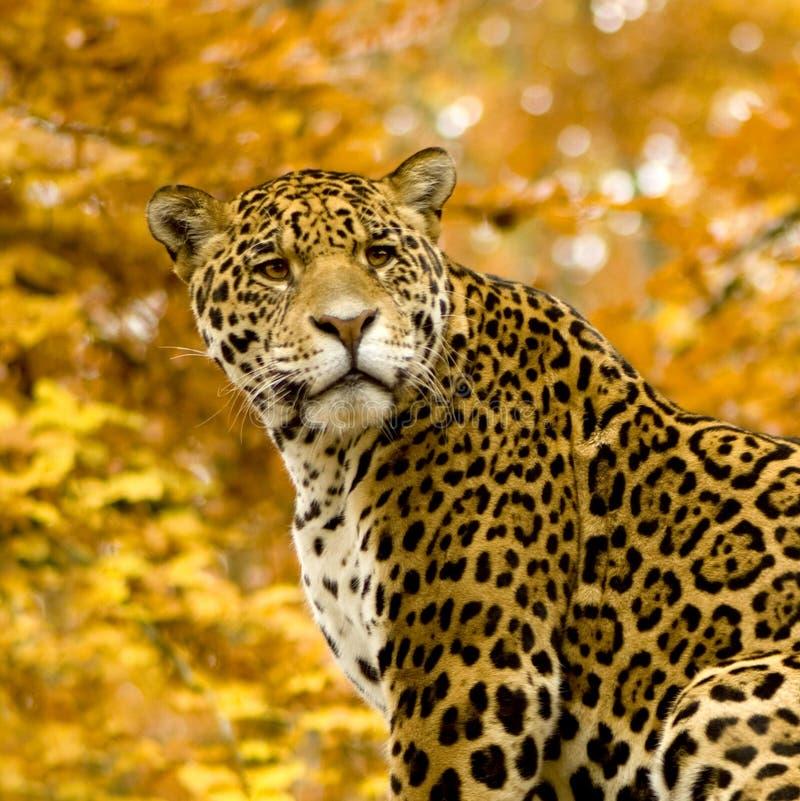 Free Jaguar - Panthera Onca Stock Photos - 3688043