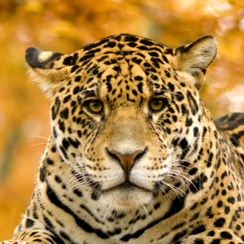 Jaguar - Panthera onca lizenzfreies stockfoto