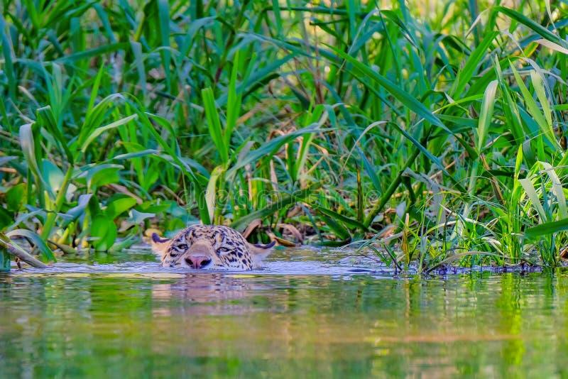 Jaguar Panthera Onca, bad över den Cuiaba floden, Porto Jofre, Pantanal Matogrossense, Mato Grosso Do Sul, Brasilien arkivbild