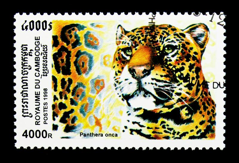 Jaguar Panthera onca, Dziki kota seria około 1998, zdjęcia royalty free
