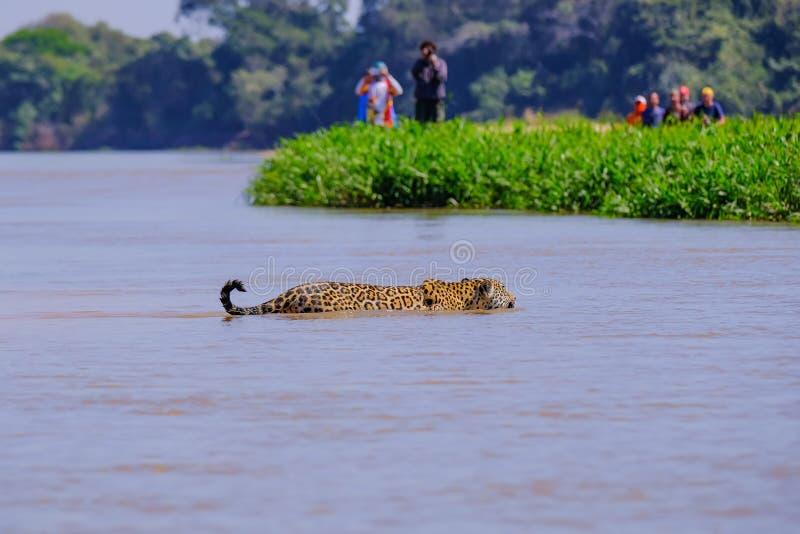 Jaguar, Panthera Onca, femelle, observé par les touristes méconnaissables traversant la rivière de Cuiaba, Pantanal, Brésil photo stock