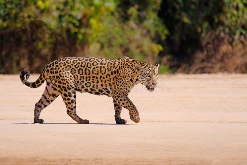 Jaguar, Panthera Onca, femelle, rivière de Cuiaba, Porto Jofre, Pantanal Matogrossense, Mato Grosso do Sul, Brésil image libre de droits
