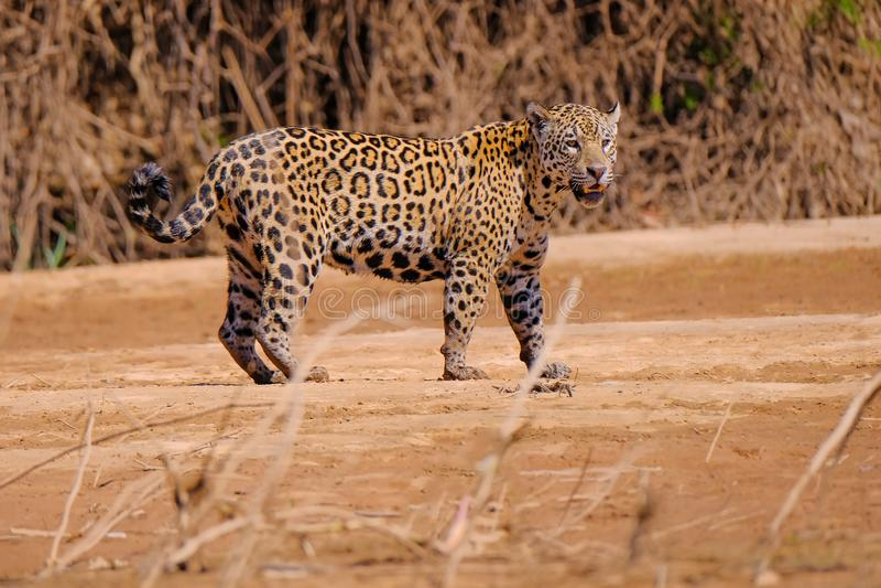 Jaguar Panthera Onca, längs den Cuiaba floden, Porto Jofre, Pantanal Matogrossense, Mato Grosso Do Sul, Brasilien fotografering för bildbyråer