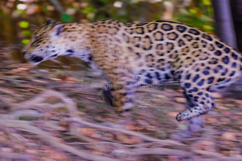 Jaguar, Panthera Onca, sautant sur la chasse, rivière de Cuiaba, Porto Jofre, Pantanal Matogrossense, Mato Grosso, Brésil images stock