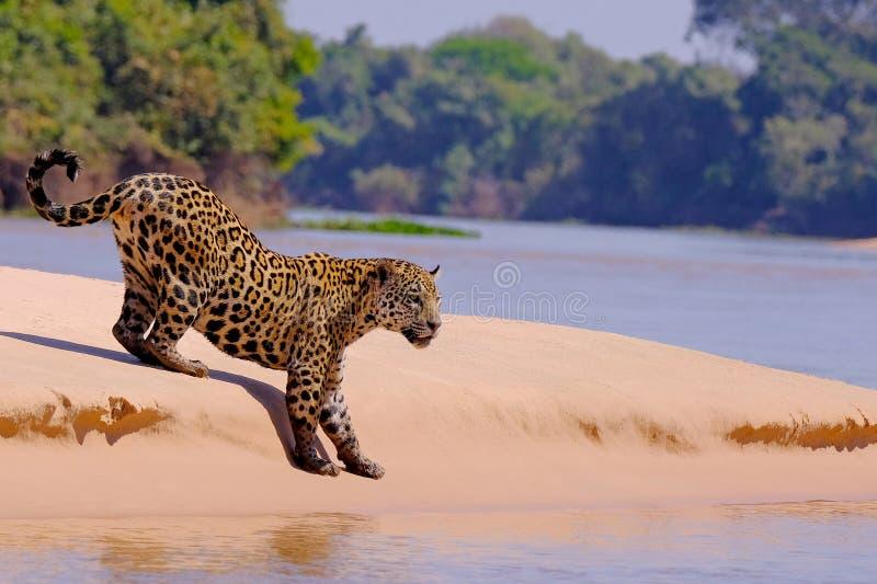 Jaguar Panthera Onca som är kvinnlig, Cuiaba flod, Porto Jofre, Pantanal Matogrossense, Mato Grosso Do Sul, Brasilien arkivfoton