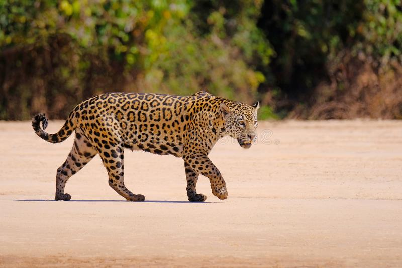 Jaguar Panthera Onca som är kvinnlig, Cuiaba flod, Porto Jofre, Pantanal Matogrossense, Mato Grosso Do Sul, Brasilien royaltyfri bild
