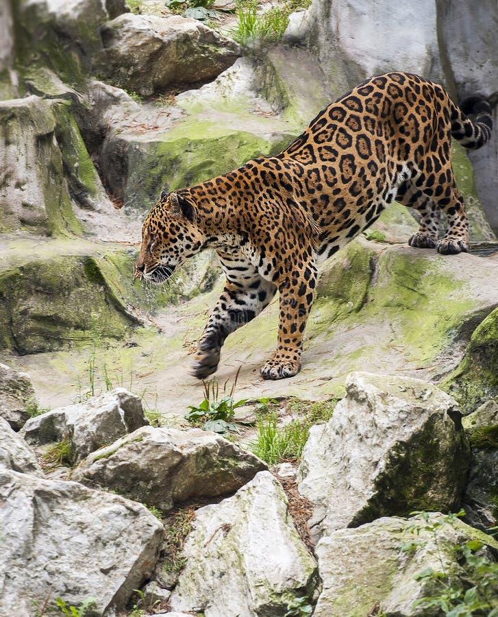 Jaguar-Panthera onca Wildkatzespezies, Klasse Pantheraeingeborener in das Amerika Größte Spezies der gebürtigen Katze der neuen W stockbild