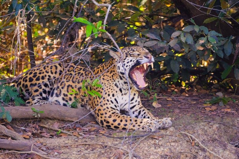 Jaguar, Panthera Onca z otwartym usta na riverbank, Cuiaba rzeka, Porto Jofre, Pantanal Matogrossense, Brazylia zdjęcia stock