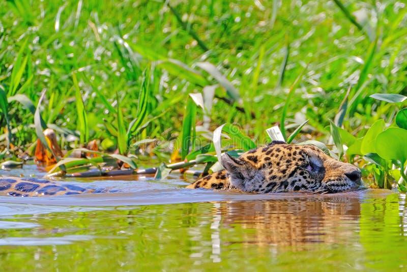 Jaguar pantheraen Onca som är kvinnlig, simmar över den Cuiaba floden, Porto Jofre, Pantanal Matogrossense, Pantanal, Brasilien royaltyfri fotografi
